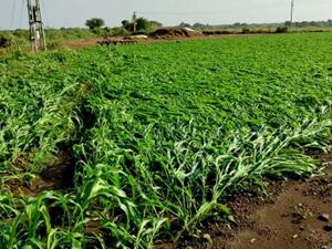 વરસાદના પગલે કપાસ સહિતના પાકને નુકસાન, ખેડૂતોને આર્થિક ફટકો